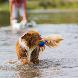 Dog plays with a ball in the water Stock Photography