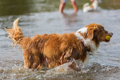 Dog plays with a ball in the water Royalty Free Stock Photography