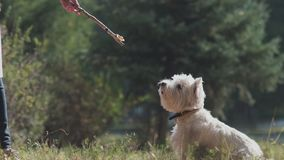 Dog plays with a branch of the tree. Slowmotion. Slowmotion: West highland white terrier. Unknown girl playing with a dog. A dog of medium size. dog owner gives stock video footage