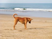 Dog plays with crab on the beach stock photo
