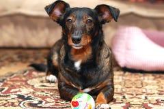 Dog Plays Glance Stock Photography