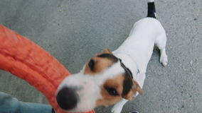 Dog plays with his master with the ring. Small dog breed Jack Russell Terrier playing in the street with its owner with bright ring. Sunny summer day. Close-up stock video footage