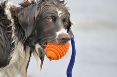 Dog Plays In Water Royalty Free Stock Photo