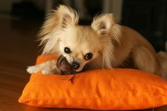 A dog plays with its plush toy Royalty Free Stock Photos
