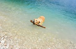 The dog plays in the lake Stock Photos