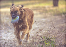 Dog plays in the park with the ball Royalty Free Stock Photography
