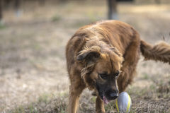 Dog plays in the park with the ball Stock Photo