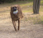 Dog plays in the park with the ball Stock Photos