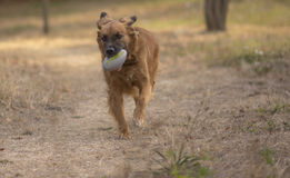 Dog plays in the park with the ball Stock Images