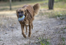 Dog plays in the park with the ball Stock Image