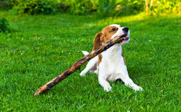 Dog plays with a stick Stock Images