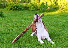Dog plays with  stick Royalty Free Stock Photos
