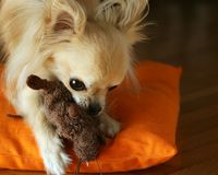 A dog plays with a toy Royalty Free Stock Photo