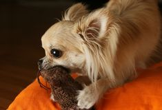Dog plays with a toy Stock Images