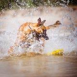 Dog plays in water. Belgian shepherd dog on the beach Stock Photos
