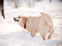 Dog plays in winter Stock Photography