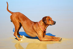 Dog pleasing. Side view of a beautiful well trained male Rhodesian Ridgeback hound dog going down in front to please the owner royalty free stock images