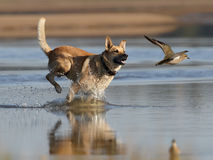 Dog and plover royalty free stock images