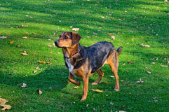 Dog in Pointer Form Royalty Free Stock Images