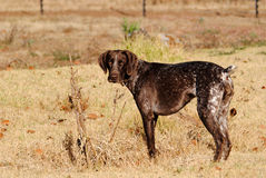 Dog. Pointer friend hunting farm Stock Photography