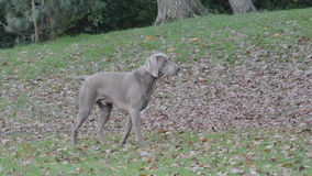 Dog poised to chase squirrel stock video
