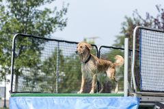 Dog poised to jump into pool. Dog retrieving a toy and playing in pool at splash challenge royalty free stock images