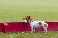 dog with polo ball stock photography