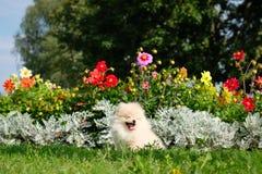 Dog pomeranian spitz sitting on blossom flowers. Portrait of smart white puppy pomeranian dog. Cute furry domestic animal sitting. Between flowers stock image