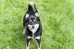 Dog - Pomsky Royalty Free Stock Photography