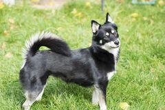 Dog - Pomsky, profile. Profile of a Pomsky Husky and Pomeranian cross. Black, white, tan colouration. Female stock image