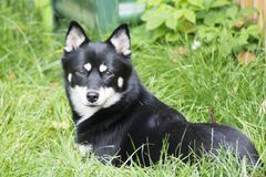 Dog - Pomsky. Profile of a pomsky - husky and Pomeranian cross breed. Black, white and tan in colour stock images