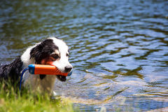 Dog at the pond Stock Photography