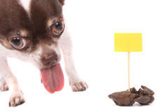 Dog and poo. Chihuahua and her poo on the white background Royalty Free Stock Photography