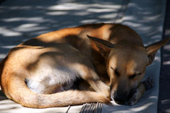 Dog pooch  sleep Stock Images