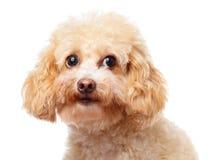 Dog poodle close up Stock Images