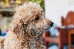 Dog poodle Royalty Free Stock Photos