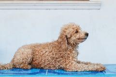 Dog poodle Stock Photography