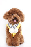 Dog - Poodle. Hi, i m red poodle, nice to meet you! I am on my way going to school royalty free stock images