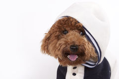 Dog - Poodle. Hi, i m red poodle, nice to meet you! I am on my way going to school royalty free stock photography