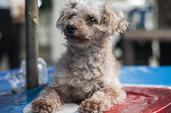 Dog Poodle. Photography dog poodle . The focal point of the face Royalty Free Stock Image