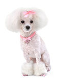 Dog Poodle stock photography