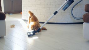 Dog playing with a brush of a working vacuum cleaner. Dog poodle playing with a brush of a working vacuum cleaner stock video