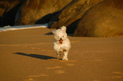 Dog poodle running on the beach Stock Photos