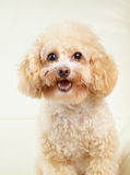 Dog poodle smile Stock Images