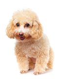 Dog poodle smile Stock Photography