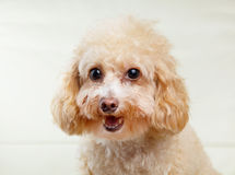 Dog poodle smile Royalty Free Stock Photo