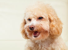 Dog poodle smile Stock Photo