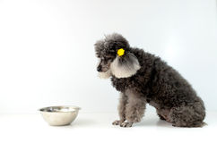 Dog. Poodle dog waiting for food from their owners Stock Images