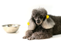 Dog. Poodle dog waiting for food from their owners Royalty Free Stock Image