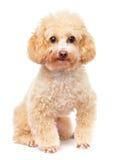 Dog poodle Stock Photo